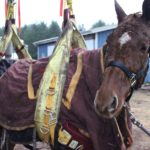 Anakin, a horse stands supported in a sling