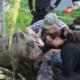 Baby Girl Pig Raise