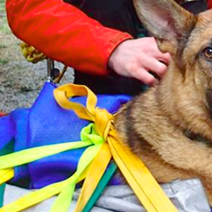 A German Shepherd is strapped into a litter and looks alertly at the camera during a practice session.