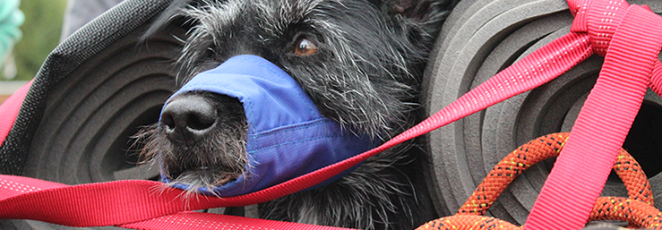 Dog Tulla is secured in a litter with straps and wears a muzzle.